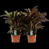 calathea rufibarba elgergrass 60cm