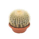 cactus erizo 18cm