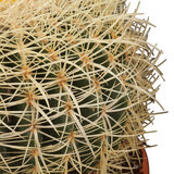 pinchos cactus erizo