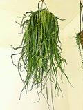 lepismium bolivianum planta colgante