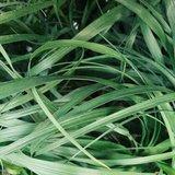 hojas beaucarnea recurvata