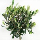 hojas árbol olivo 50cm