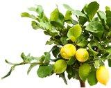 árbol limonero limones