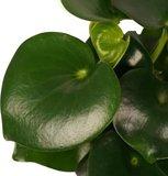 hojas de peperomia raindrop