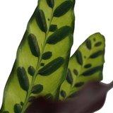 hojas de la calatea insignis