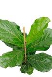 hojas caucho fibroso