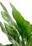 hojas de aglaonema maría