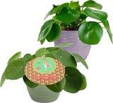 duo planta china del dinero 50cm (pilea peperomioides)