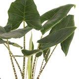 hojas alocasia zebrina