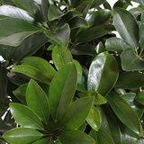 hojas schefflera arboricola compacta