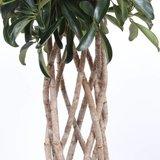 trenzado cheflera arboricola compacta