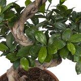 ficus ginseng bonsai hojas