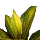cordyline frutosa kiwi hojas