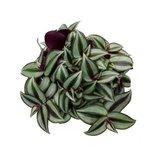 hojas tradescantia zebrina purpusii