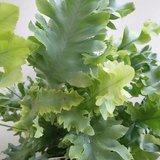 hojas phlebodium aureum davana