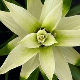 flor bromelia guzmania deseo blanca