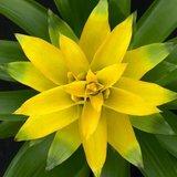 flor bromelia guzmania deseo amarilla