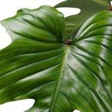 philodendron squamiferum piramide hojas