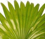 livistona rotundifolia hojas