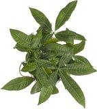 hojas pachira acuatica