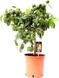 árbol cítrico naranjo rojo 70cm