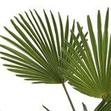 hojas palmera trachycarpus wagneriana