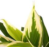 hojas cordyline fruticosa verde