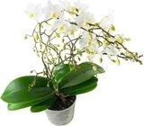 orquidea blanca multiflora soft cloud