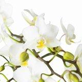 flores orquidea blanca multiflora soft cloud