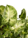 hojas singonio pixie