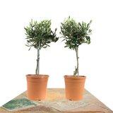 duo árbol olivo 50cm