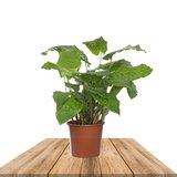 calathea musaica 40cm