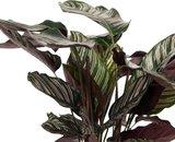 hojas calathea ornata 75cm