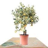 árbol cítrico variegata calamondina