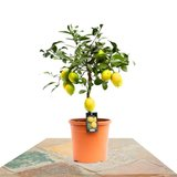 limonero lemon meyer 80cm