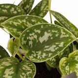 hojas poto scindapsus pictus trebie