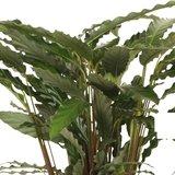 hojas calathea rufibarba bluegras