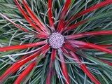 flor bromelia fascicularia bicolor