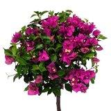 flores buganvilla copa