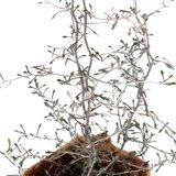 corokia cotoneaster hojas