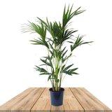 palmera kentia 100cm