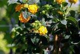 lantana camara flores