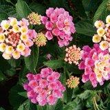 flores lantana camara rosa