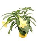 floripondio flor amarilla