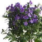 flores solanum rantonetti azul