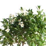 flores solanum rantonetti blanco