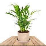 palmera areca en macetero