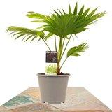 palmera livistona rotundifolia