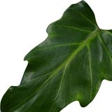 hoja philodendron xanadu feel green