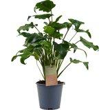 philodendron xanadu feel green 45cm